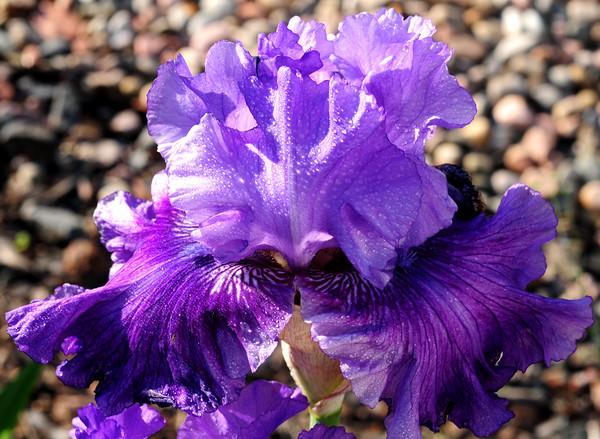 Melodrama Iris