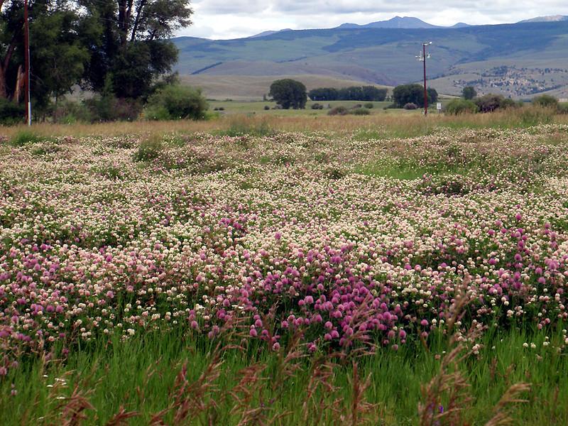 Parry Clover, Trifolium parryi, Pea family