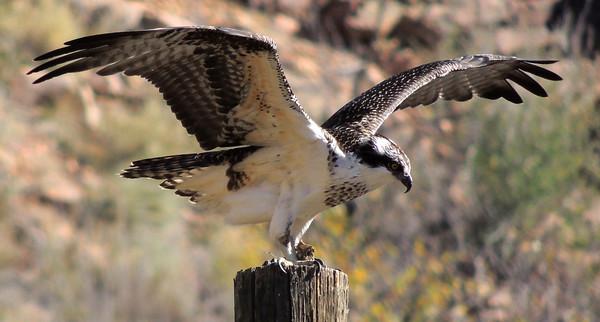 Swainson's Hawk?
